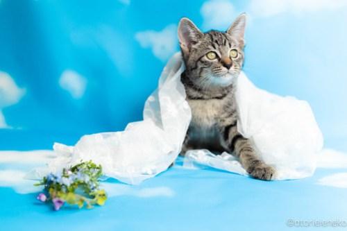 アトリエイエネコ Cat Photographer 30554570448_ae093fb35c 1日1猫!なら地域ねこの会さんの猫撮影会♪ 1日1猫!  猫写真 猫カフェ 猫 子猫 奈良 大阪 初心者 写真 保護猫カフェ 保護猫 ハチワレ ニャンとぴあ スマホ キジ猫 カメラ なら地域ねこの会 Kitten Cute cat