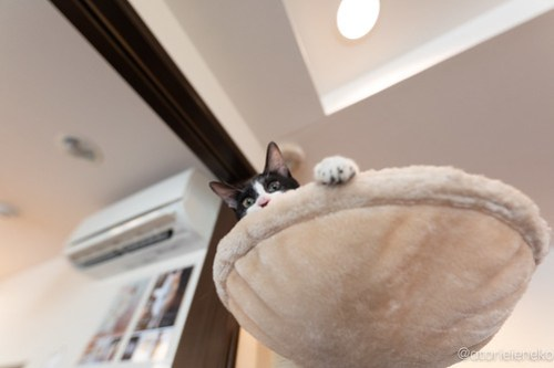 アトリエイエネコ Cat Photographer 43665609404_efb41b86bd 1日1猫!CaraCatCafe天使に会いに行って来た(いや1週間前にry)格さんおめでとう♪ 1日1猫!  里親様募集中 箕面 猫写真 猫カフェ 猫 子猫 大阪 初心者 写真 保護猫カフェ 保護猫 ハチワレ スマホ キジ猫 カメラ Kitten Cute cat caracatcafe