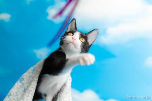 アトリエイエネコ Cat Photographer 44373301372_171156bf01 1日1猫!なら地域ねこの会さんの猫撮影会♪ 1日1猫!  猫写真 猫カフェ 猫 子猫 奈良 大阪 初心者 写真 保護猫カフェ 保護猫 ハチワレ ニャンとぴあ スマホ キジ猫 カメラ なら地域ねこの会 Kitten Cute cat