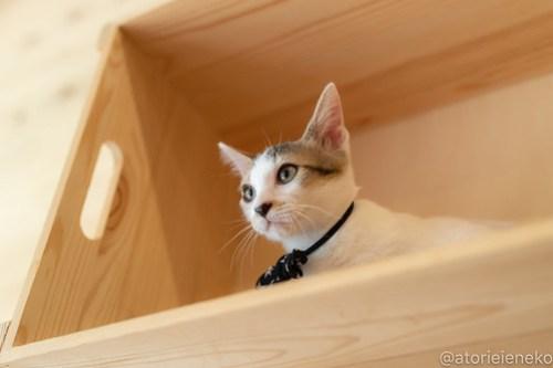 アトリエイエネコ Cat Photographer 30389117548_a62758609e 1日1猫!おおさかねこ俱楽部 里活中のセレナちゃんです♪ 1日1猫!  里親様募集中 猫写真 猫カフェ 猫 子猫 大阪 初心者 写真 保護猫カフェ 保護猫 ニャンとぴあ スマホ カメラ おおさかねこ倶楽部 Kitten Cute cat