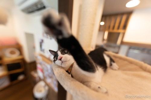 アトリエイエネコ Cat Photographer 29446210957_c46fa0fd4b 1日1猫!CaraCatCafe天使に会いに行って来た(いや1週間前にry)格さんおめでとう♪ 1日1猫!  里親様募集中 箕面 猫写真 猫カフェ 猫 子猫 大阪 初心者 写真 保護猫カフェ 保護猫 ハチワレ スマホ キジ猫 カメラ Kitten Cute cat caracatcafe