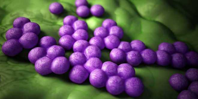 staphylococcus-aureus-arme-oxygène