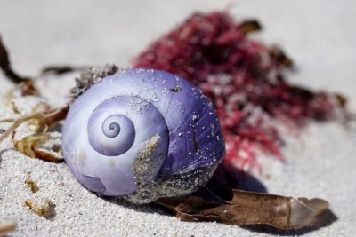 Violet snail #marineexplorer