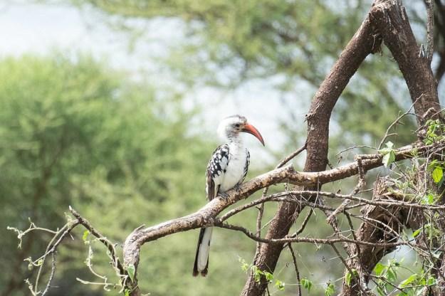 Hornbill. Tarangire