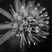 Field eryngo, flower