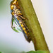 Leafhopper with Bubble Helmet