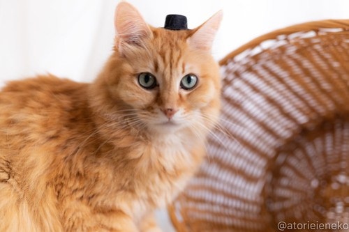アトリエイエネコ Cat Photographer 30286107738_b8121daa82 1日1猫!しっぽ天使さんの「猫舎」に行ってきた 19歳の花嫁シロちゃん 2/2♪ 1日1猫!  高槻ねこのおうち 高槻 里親様募集中 猫写真 猫カフェ 猫 子猫 大阪 初心者 写真 保護猫カフェ 保護猫 しっぽ天使 Kitten Cute cat