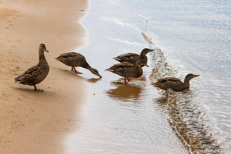 Утки, Ладожское озеро