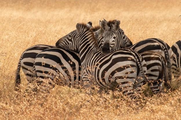 Zebra cluster