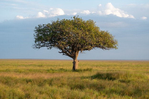 The tree at the center. Serengeti