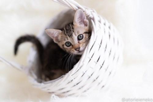 アトリエイエネコ Cat Photographer 43434473434_8be07fae3b 1日1猫!しっぽ天使さん 里活中の黍「きび」♀生後2ヶ月 3/4♪ 1日1猫!  高槻ねこのおうち 高槻 里親様募集中 猫写真 猫カフェ 猫 子猫 大阪 初心者 写真 保護猫 スマホ キジ猫 しっぽ天使 Kitten Cute cat