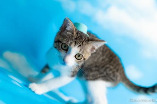 アトリエイエネコ Cat Photographer 43705436274_d262754a20 1日1猫!なら地域ねこの会さんの猫撮影会♪ 1日1猫!  猫写真 猫カフェ 猫 子猫 奈良 大阪 初心者 写真 保護猫カフェ 保護猫 ハチワレ ニャンとぴあ スマホ キジ猫 カメラ なら地域ねこの会 Kitten Cute cat