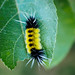 Spotted Tussock Moth (yellow and black) caterpillar