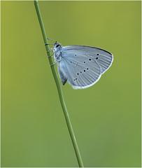 Mazarine Blue (Cyaniris semiargus)