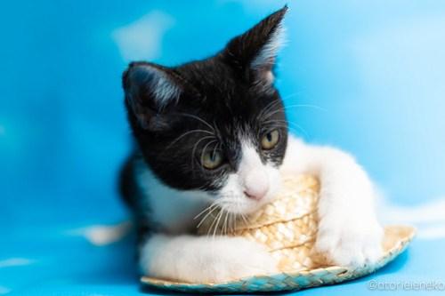 アトリエイエネコ Cat Photographer 44373283492_73e980d9a6 1日1猫!なら地域ねこの会さんの猫撮影会♪ 1日1猫!  猫写真 猫カフェ 猫 子猫 奈良 大阪 初心者 写真 保護猫カフェ 保護猫 ハチワレ ニャンとぴあ スマホ キジ猫 カメラ なら地域ねこの会 Kitten Cute cat