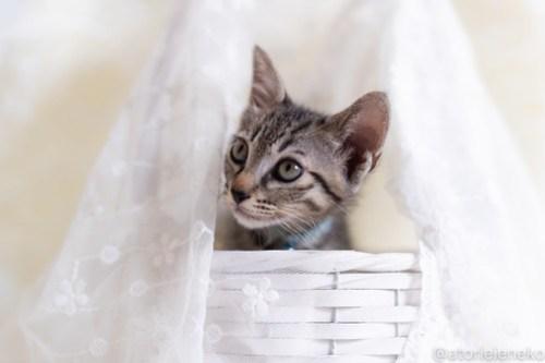 アトリエイエネコ Cat Photographer 43246814975_f0cdf4c5b9 1日1猫!しっぽ天使さん 里活中の玄「げん」くん ♂ 生後2ヶ月 1/4♪ 1日1猫!  高槻ねこのおうち 高槻 里親様募集中 猫写真 猫カフェ 猫 子猫 大阪 初心者 写真 保護猫 しっぽ天使 Kitten Cute cat