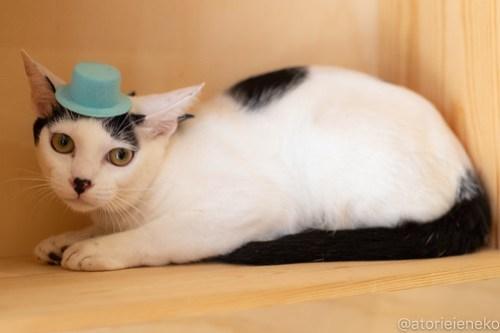 アトリエイエネコ Cat Photographer 42448238340_33f0ba0121 1日1猫!おおさかねこ俱楽部 里活中のマッチくんです♪ 未分類  里親様募集中 猫写真 猫カフェ 猫 子猫 大阪 初心者 写真 保護猫カフェ 保護猫 ニャンとぴあ スマホ カメラ おおさかねこ倶楽部 Kitten Cute cat