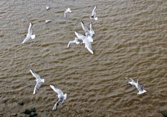 Gulls over River Thames