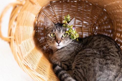 アトリエイエネコ Cat Photographer 43434477384_4cb61ed3c6 1日1猫!しっぽ天使さん 里活中の冴那「さな」♀ 約1歳 4/4♪ 1日1猫!  高槻ねこのおうち 高槻 里親様募集中 猫写真 猫カフェ 猫 子猫 大阪 初心者 写真 保護猫カフェ 保護猫 キジ猫 キジ カメラ しっぽ天使 Kitten Cute cat