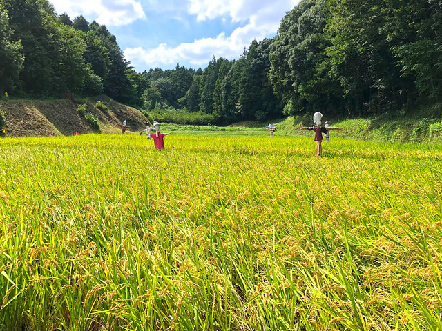 Rice garden at Niiharu Community Woods, Yokohama, Japan.