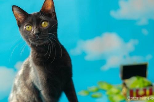 アトリエイエネコ Cat Photographer 45614383121_8667c2333d 1日1猫!高槻ねこのおうち 里活中準備中黒子猫♫ 1日1猫!  黒猫 高槻ねこのおうち 里親様募集中 里親募集 猫写真 猫カフェ 猫 子猫 大阪 初心者 写真 保護猫カフェ 保護猫 Kitten Cute cat