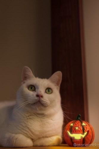 アトリエイエネコ Cat Photographer 30210657637_bb2492a40b 1日1猫! CaraCatCafeさん天使達に会いに行って来た!(1/3) 1日1猫!  里親様募集中 猫写真 猫カフェ 猫 子猫 大阪 初心者 写真 保護猫カフェ 保護猫 スマホ カメラ Kitten Cute cat caracatcafe