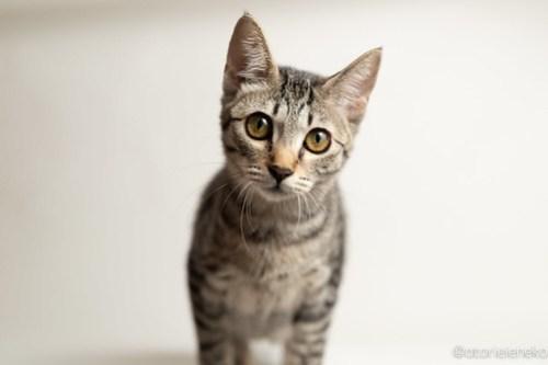 アトリエイエネコ Cat Photographer 43475902930_e496443e82 1日1猫!おおさかねこ倶楽部 里活中の華ちゃんです♪ 1日1猫!  里親様募集中 猫写真 猫カフェ 猫 子猫 大阪 写真 保護猫カフェ 保護猫 ニャンとぴあ スマホ キジ猫 カメラ おおさかねこ倶楽部 Kitten Cute cat