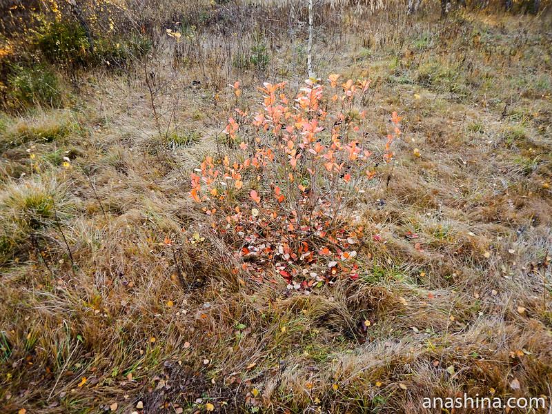 Куст с красными листьями