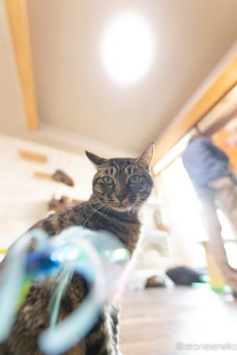 アトリエイエネコ Cat Photographer 45563853192_5430db6816 1日1猫!保護猫カフェかぎしっぽさんに行って来た♫ 1日1猫!  里親様募集中 猫写真 猫カフェ 猫 子猫 大阪 写真 保護猫カフェかぎしっぽ 保護猫カフェ 保護猫 ハチワレ スマホ サビ猫 キジ猫 カメラ Kitten Cute cat