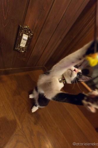 アトリエイエネコ Cat Photographer 45148763811_da41bfa8c4 1日1猫! CaraCatCafeさん里活中のお静ちゃん!(2/3) 1日1猫!  里親様募集中 猫写真 猫カフェ 猫 子猫 大阪 初心者 写真 保護猫カフェ 保護猫 ハチワレ キジ猫 カメラ Kitten Cute cat caracatcafe