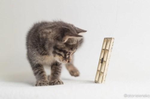 アトリエイエネコ Cat Photographer 44544376625_47f9c13fb9 1日1猫!高槻ねこのおうち 里活中グレー子猫(まだ名無し)♪ 1日1猫!  高槻ねこのおうち 高槻 里親様募集中 猫写真 猫 子猫 大阪 写真 保護猫カフェ 保護猫 スマホ グレー キジ猫 Kitten Cute cat