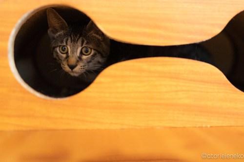 アトリエイエネコ Cat Photographer 44917392532_72fa16495d 1日1猫!保護猫カフェ森のねこ舎さん♪ 1日1猫!  里親様募集中 猫写真 猫カフェ 猫 森のねこ舎 子猫 大阪 初心者 写真 保護猫カフェ 保護猫 Kitten Cute cat
