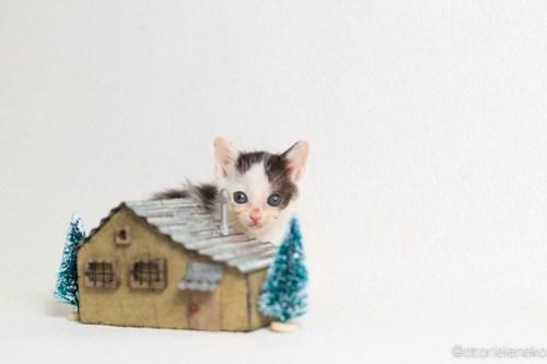 アトリエイエネコ Cat Photographer 30519171757_543168afd4 1日1猫!高槻ねこのおうち 里活に向けて♪ 1日1猫!  高槻ねこのおうち 高槻 里親様募集中 猫写真 猫カフェ 猫 子猫 大阪 写真 保護猫カフェ 保護猫 ハチワレ スマホ キジ猫 カメラ Kitten Cute cat