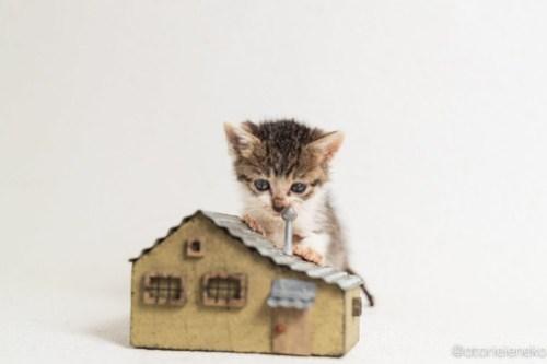 アトリエイエネコ Cat Photographer 30519172797_756bc79720 1日1猫!高槻ねこのおうち 里活に向けて♪ 1日1猫!  高槻ねこのおうち 高槻 里親様募集中 猫写真 猫カフェ 猫 子猫 大阪 写真 保護猫カフェ 保護猫 ハチワレ スマホ キジ猫 カメラ Kitten Cute cat