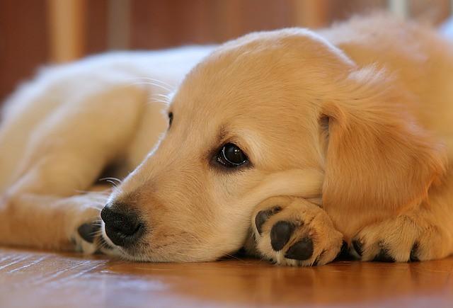咳をして体調の悪い子犬