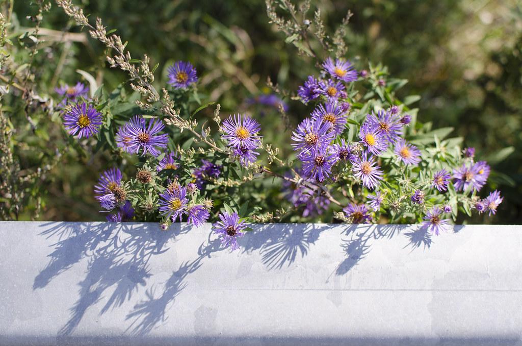 michaelmas daisies 11