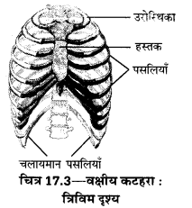 UP Board Solutions for Class 10 Home Science Chapter 17 मानव अस्थि-संस्थान तथा सन्धियाँ 3