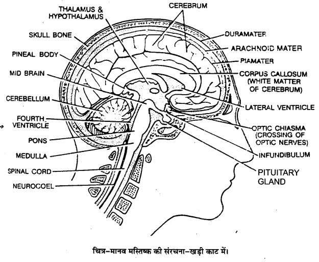 UP Board Solutions for Class 11 Biology Chapter 21 Neural Control and Coordination(तन्त्रिकीय नियन्त्रण एवं समन्वय)