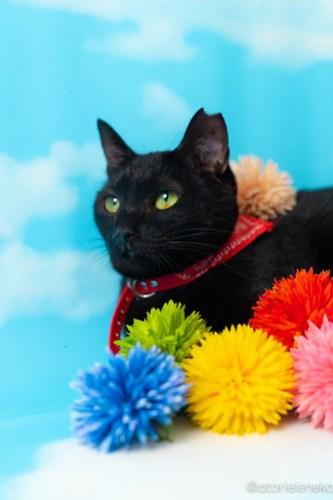 アトリエイエネコ Cat Photographer 30673418657_94dda18bb1 1日1猫!高槻ねこのおうち 里活中 ねこ谷さん♫ 1日1猫!  黒猫 高槻ねこのおうち 里親様募集中 里親募集 猫写真 猫カフェ 猫 子猫 大阪 写真 保護猫カフェ 保護猫 カメラ Kitten Cute cat