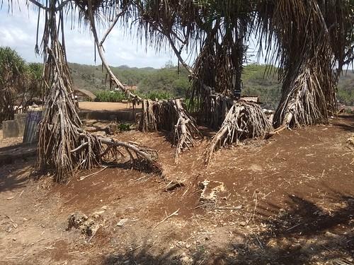 Pulau Drini dan pohon pandan pantai