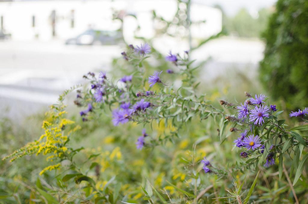 michaelmas daisies 3