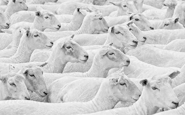 Lost in the herd