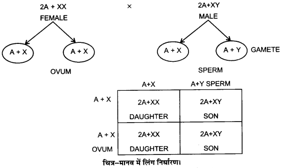UP Board Solutions for Class 12 Biology Chapter 5 Principles of Inheritance and Variation Q.11