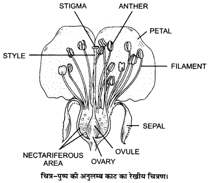 UP Board Solutions for Class 12 Biology Chapter 2 Sexual Reproduction in Flowering Plants Q.1