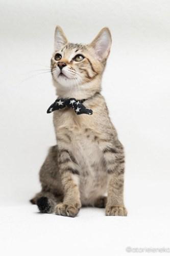 アトリエイエネコ Cat Photographer 30050253887_5c60a5a104 1日1猫!おおさかねこ倶楽部 里活中のあきとくん♪ 1日1猫!  里親様募集中 猫写真 猫カフェ 猫 子猫 大阪 写真 保護猫カフェ 保護猫 ニャンとぴあ キジ猫 カメラ おおさかねこ倶楽部 Kitten Cute cat
