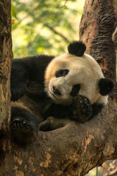 Giant Panda Breeding Centre, Chengdu, Szechuan, China