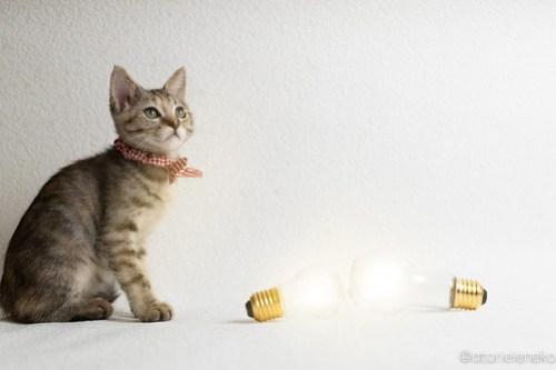 アトリエイエネコ Cat Photographer 44986098141_021410e6c2 1日1猫!おおさかねこ倶楽部 里活中のはるちゃんです♪ 1日1猫!  里親様募集中 里親募集 猫写真 猫カフェ 猫 子猫 大阪 写真 保護猫カフェ 保護猫 ニャンとぴあ スマホ キジ猫 おおさかねこ倶楽部 Kitten Foster parents Cute cat