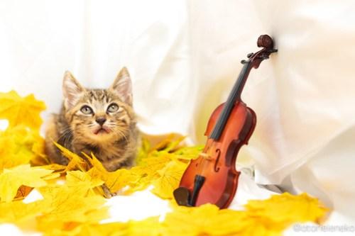 アトリエイエネコ Cat Photographer 31012864108_554bd13f41 1日1猫!高槻ねこのおうち 里活中のいろはちゃん♪ 1日1猫!  高槻ねこのおうち 里親様募集中 猫写真 猫カフェ 猫 子猫 大阪 初心者 写真 保護猫カフェ 保護猫 スマホ キジ猫 Kitten Cute cat