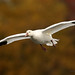 Oie des neiges \ Snow Goose
