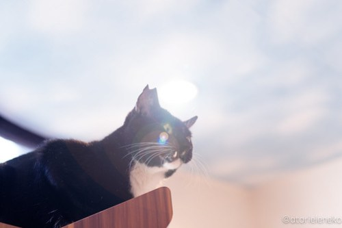 アトリエイエネコ Cat Photographer 44917386742_3775da1ab1 1日1猫!保護猫カフェ森のねこ舎さん♪ 1日1猫!  里親様募集中 猫写真 猫カフェ 猫 森のねこ舎 子猫 大阪 初心者 写真 保護猫カフェ 保護猫 Kitten Cute cat